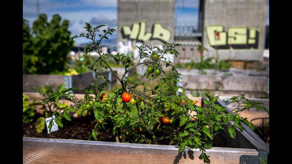 Att odla med andra i staden kan vara ett sätt att skapa ett bättre samhälle, menar Eva-Lotta Hultén. Foto: Erlend Aas/ TT.