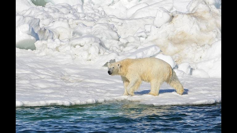 Alaska Isbjörn