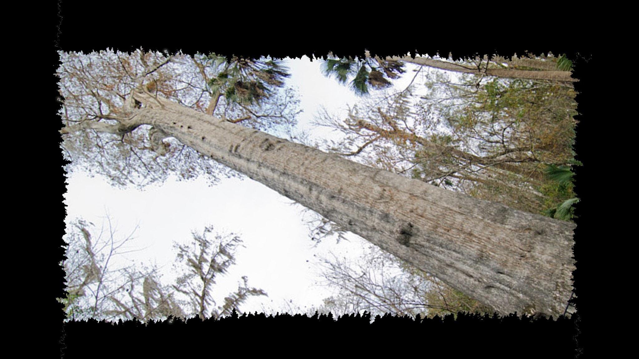 Träd 4: Sumpcypressens ögonblick gör människan gåtfull