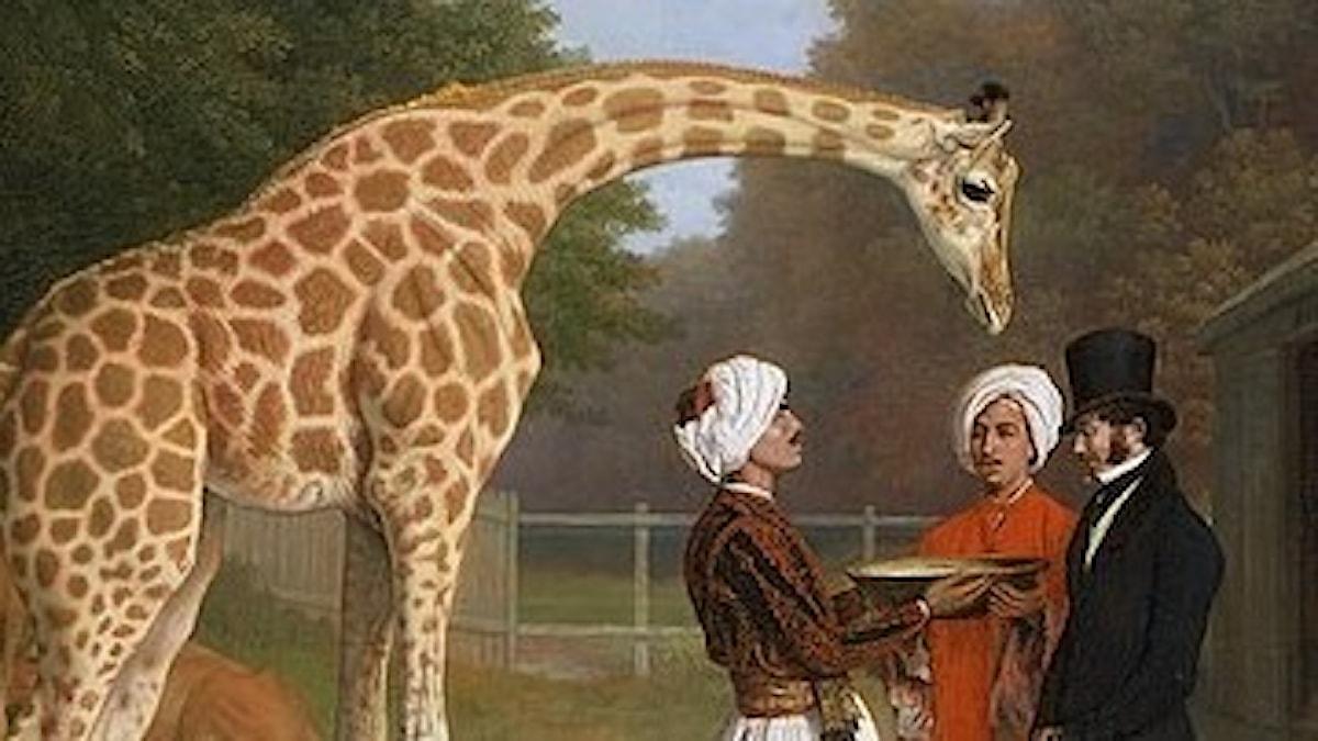 Giraff med människor.