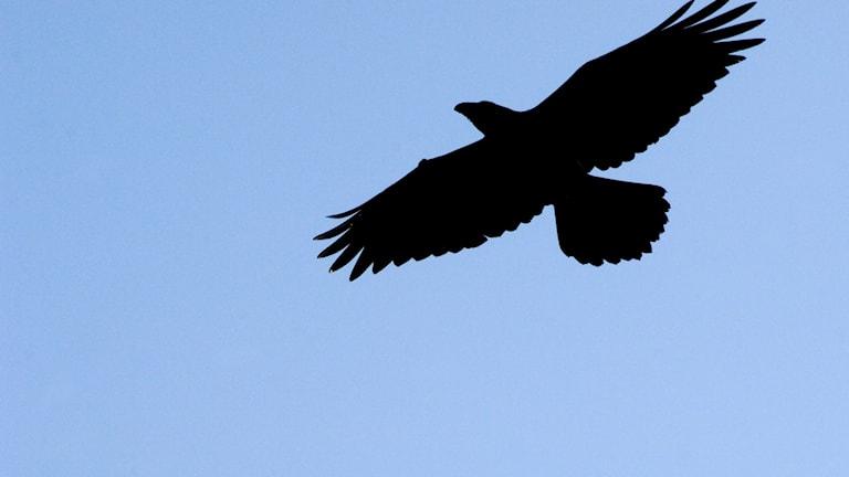 Fågelsånglektion #23: Korp, nötkråka, nötskrika och lavskrika