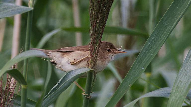 Fågelsånglektion #20: Rörsångare, sävsångare och trastsångare