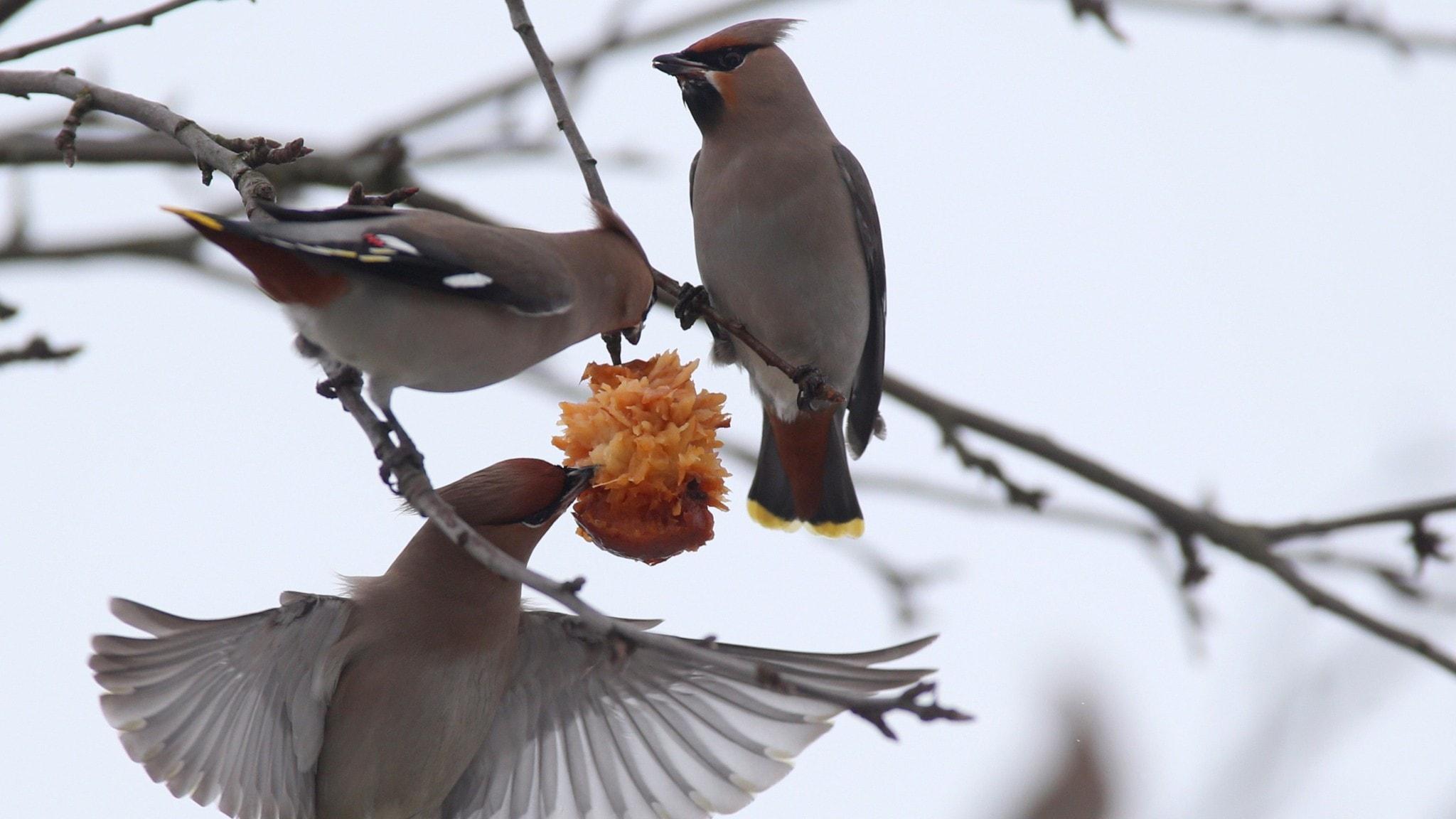 Fågelsånglektion #21: Sidensvans, stjärtmes, korsnäbb och domherre