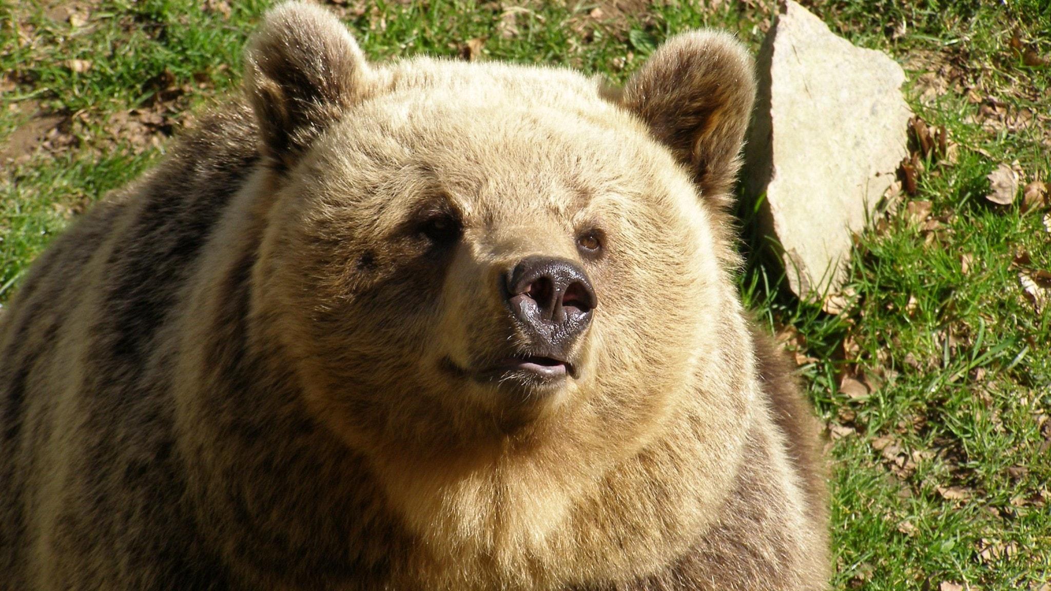 Björnen Ester vägrar att gå i ide