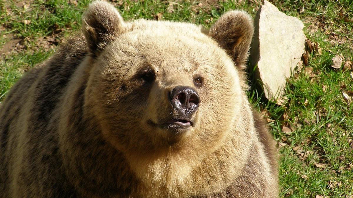 Björnen Ester har fortfarande inte gått i ide.