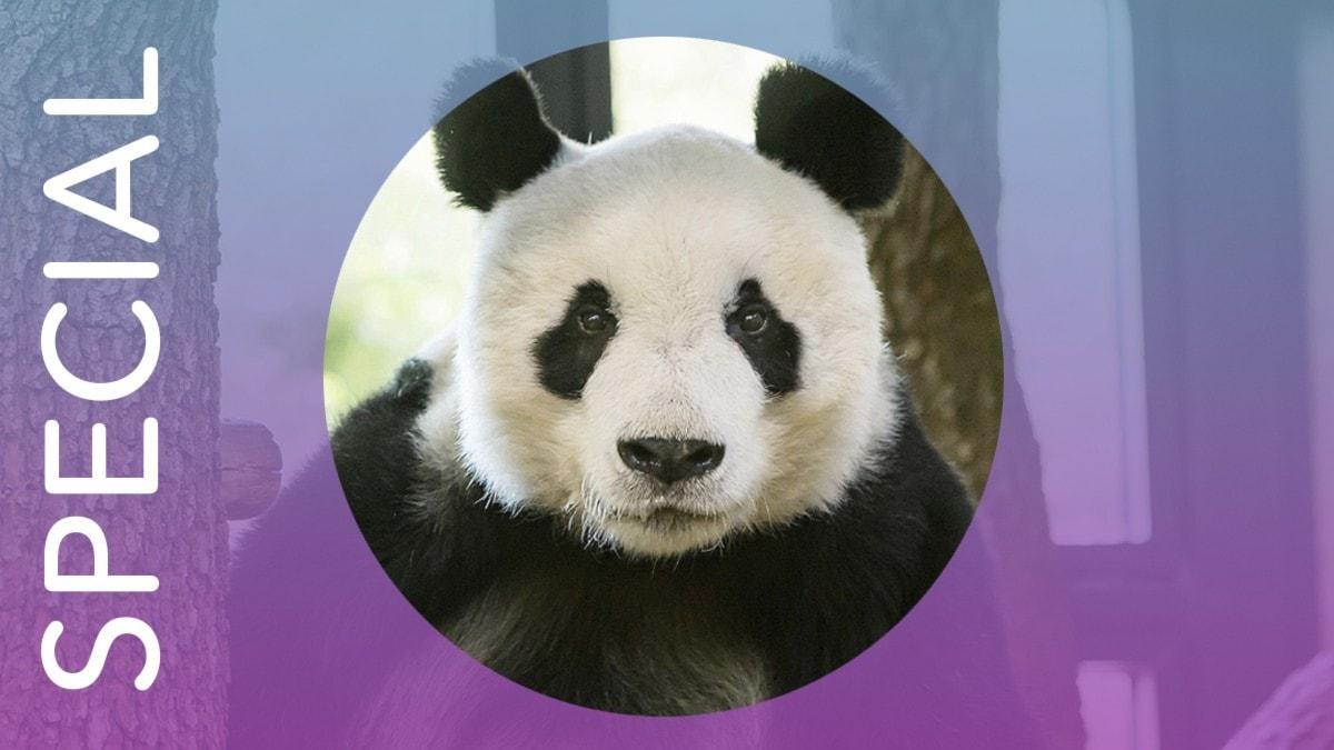 En panda.