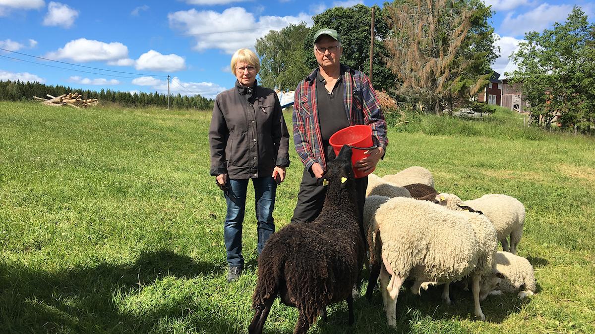 En kvinna och en man står i en grön fårahage och ett antal får trängs omkring dem.