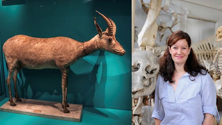 Felaktiga blåbockar och oäkta skallar – hon söker sanningen i museernas samlingar (R)