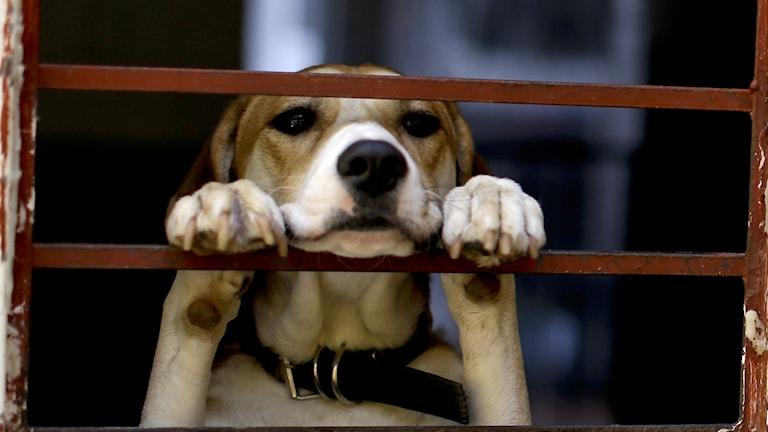 Hund står bakom galler med framtassarna placerade på gallret.