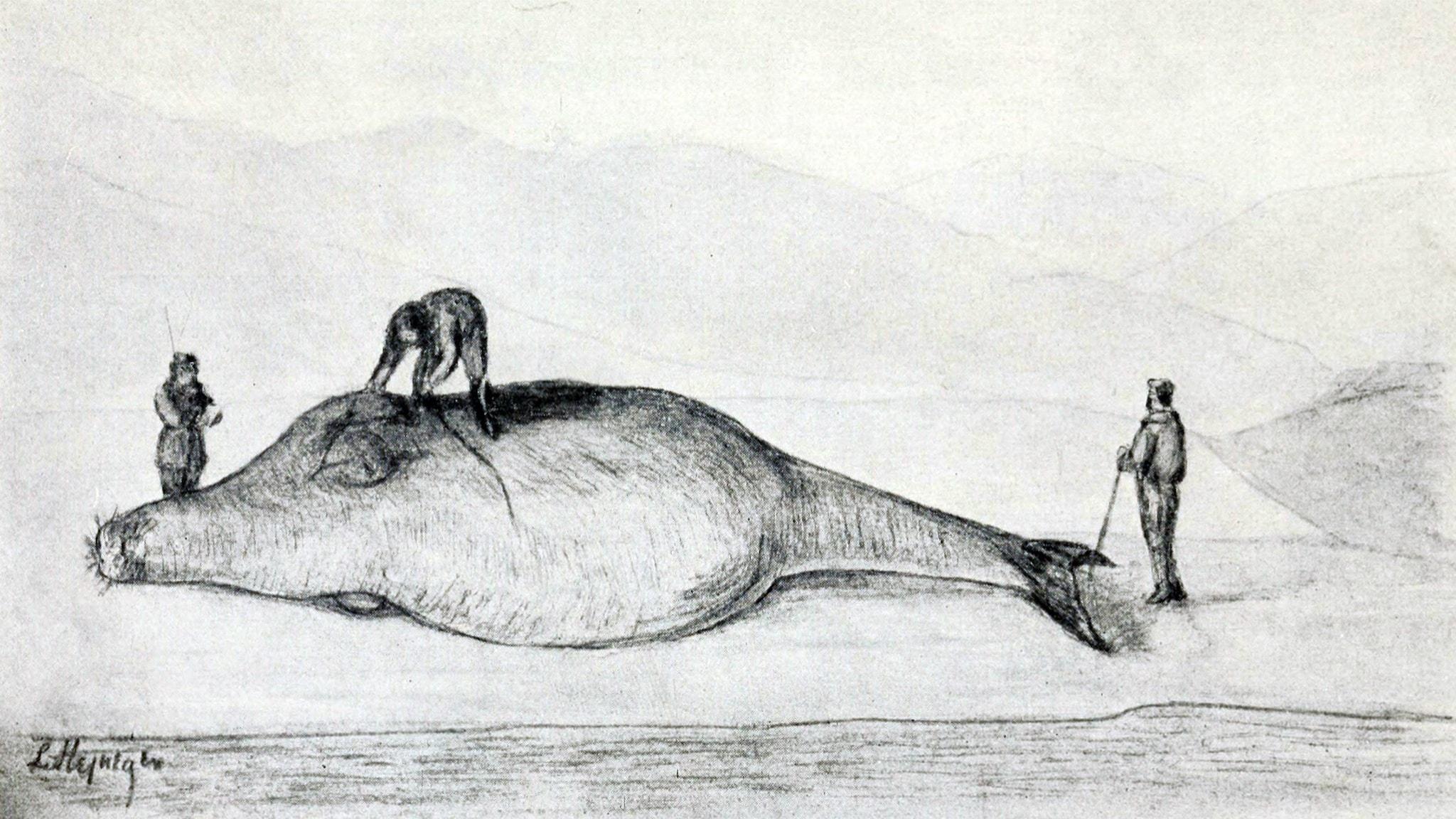 Georg Wilhelm Steller mäter upp en död Stellers sjöko på Berings ö 12 juli 1742. Rekonstruktion av Leonhard Stejneger 1925.