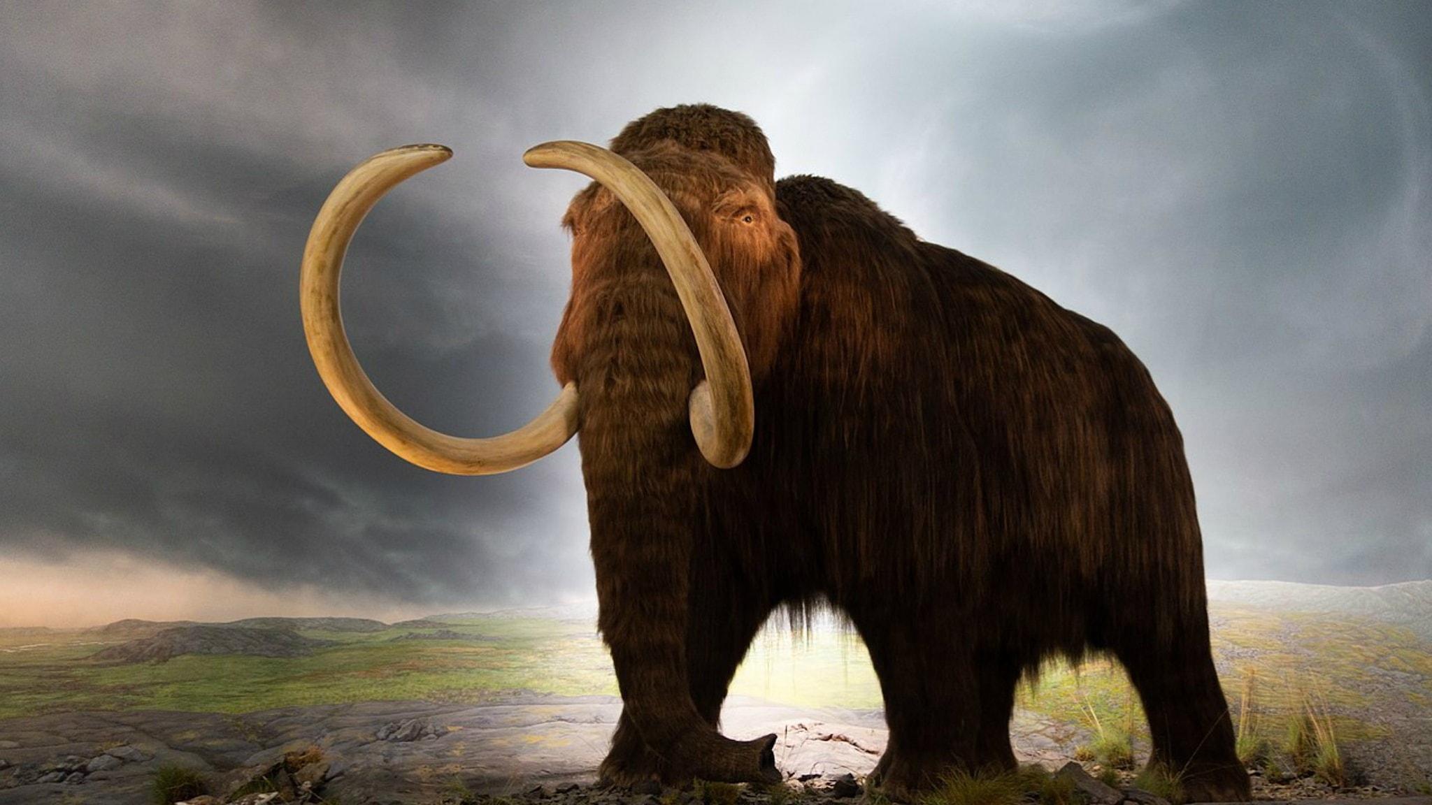 Modell av en ullhårig mammut på Royal Victoria Museum, Victoria, British Columbia, Kanada.