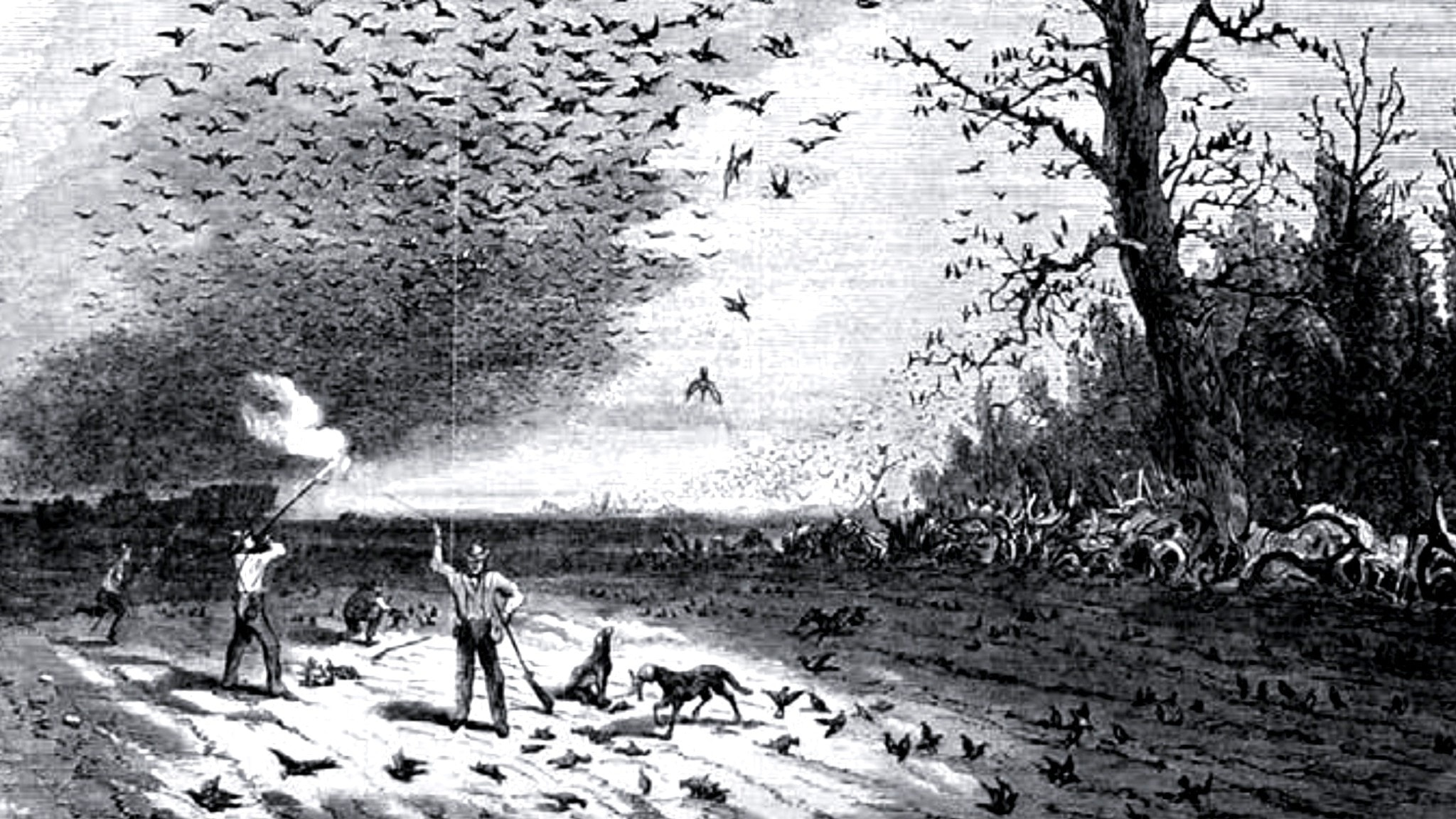Vandringsduvan –världens vanligaste fågel som utrotades