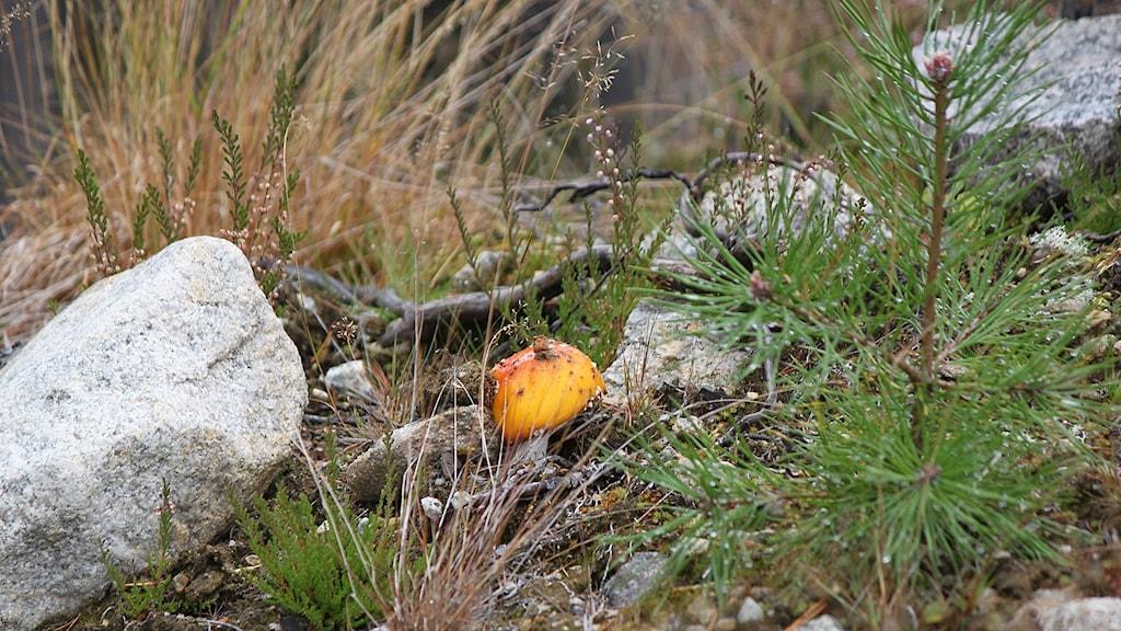 Skogsmiljö med en liten tall, stenar, gräs och en svamp