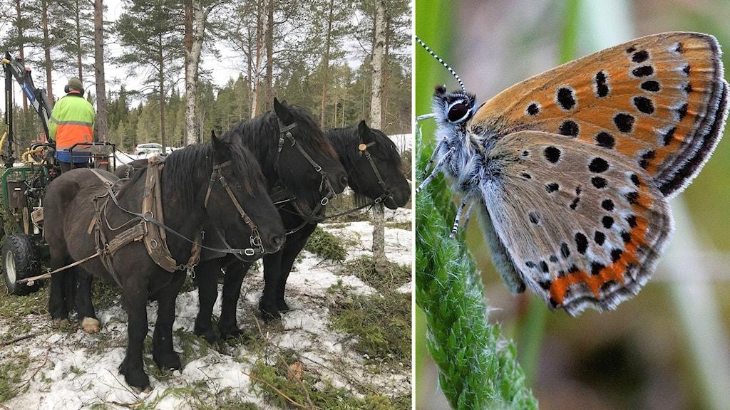 Två bilder: Skogsarbete med häst och vagn vintertid samt fjäril i violetta och orange toner med mörka fläckar på grässtrå