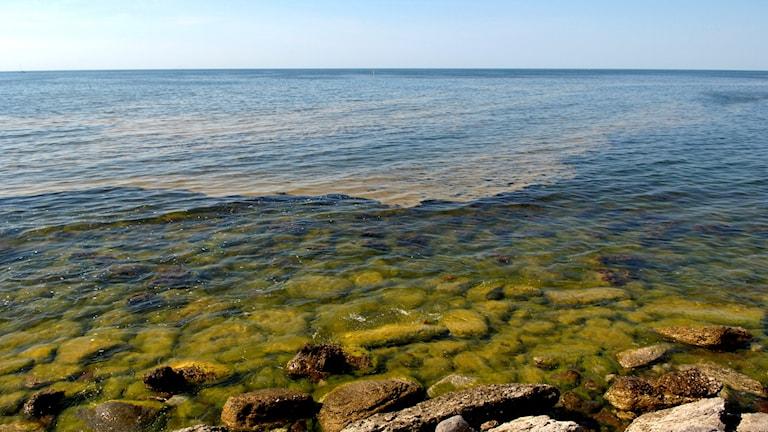 Algblomning utanför Gotlands kust.