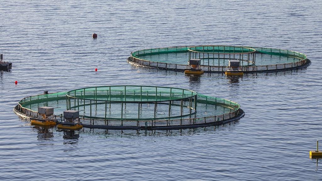 Två fiskodlingskassar i vattnet.