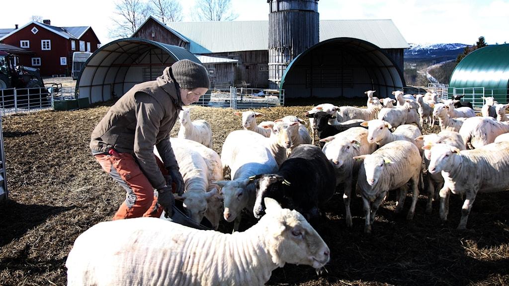 Fårägare i fårhage
