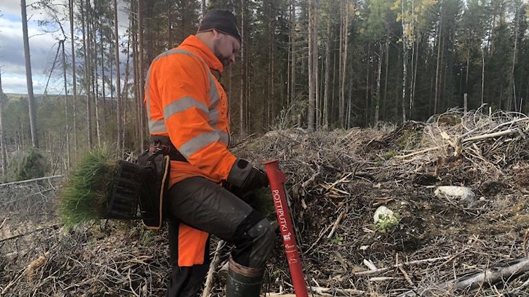 Man sätter skogsplant