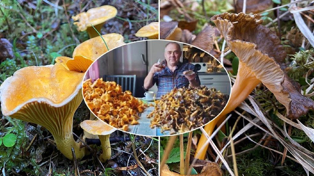 Man med högar av gul och brun svamp framför sig på bordet samt närbild kantarell och rödgul trumpetsvamp