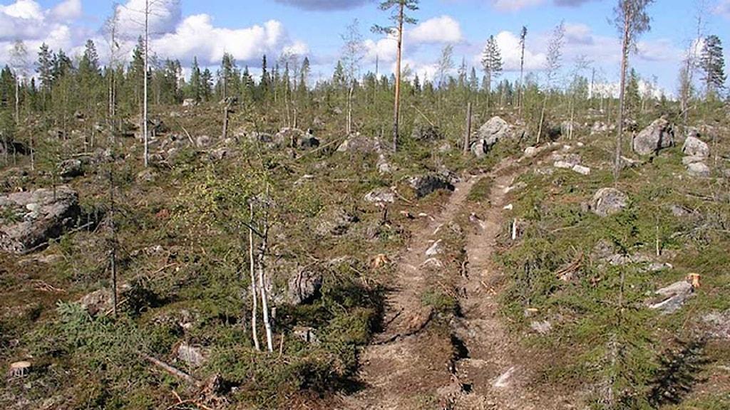 Sveaskogs avverkning i Örnåsen, där Naturskyddsföreningen hävdar att bolaget brutit mot FSC:s miljöcertifiering. Foto: Olli Manninen, Sara Svensson
