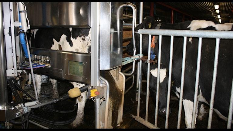 En ko står och blir mjölkad i en robot.