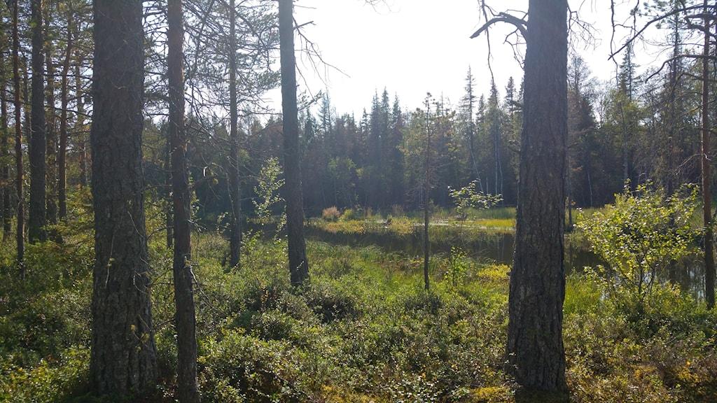 Skog med vatten i Tysjöarnas naturreservat.