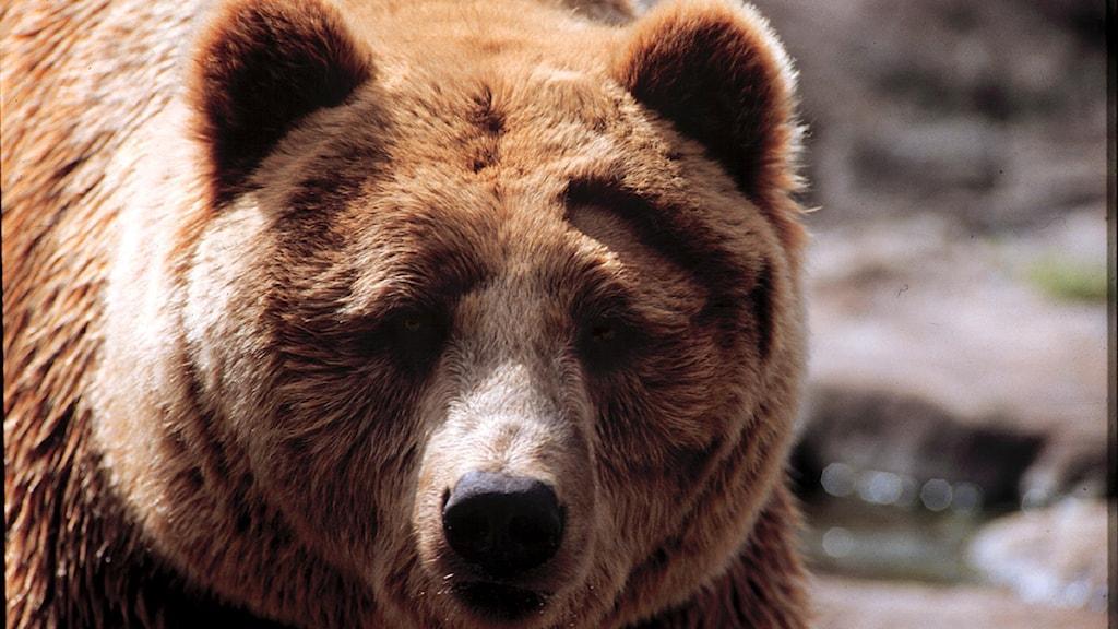 Brunbjörn. Foto Scanpix