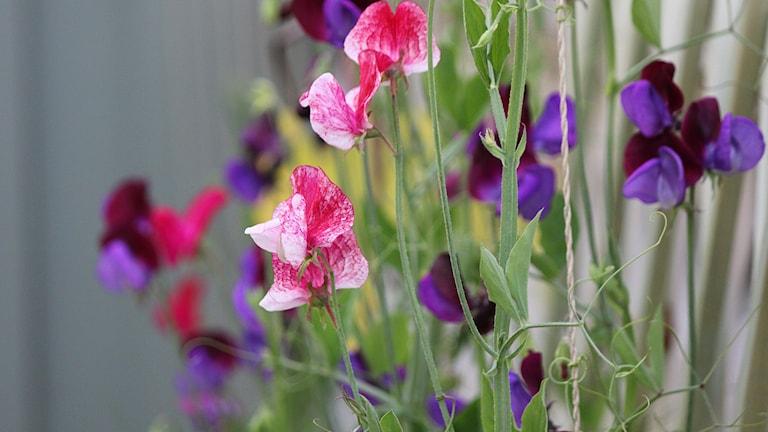 Lila och rosa luktärter mot spaljé