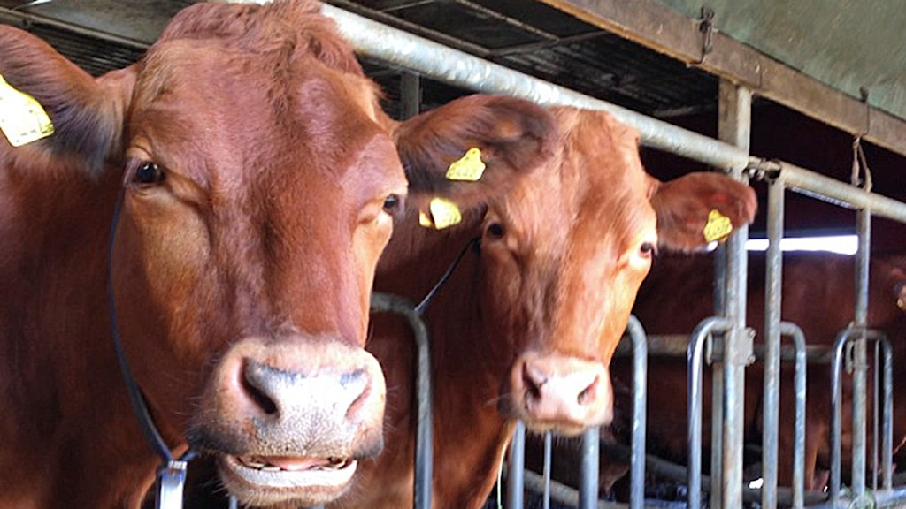 Kor i bås