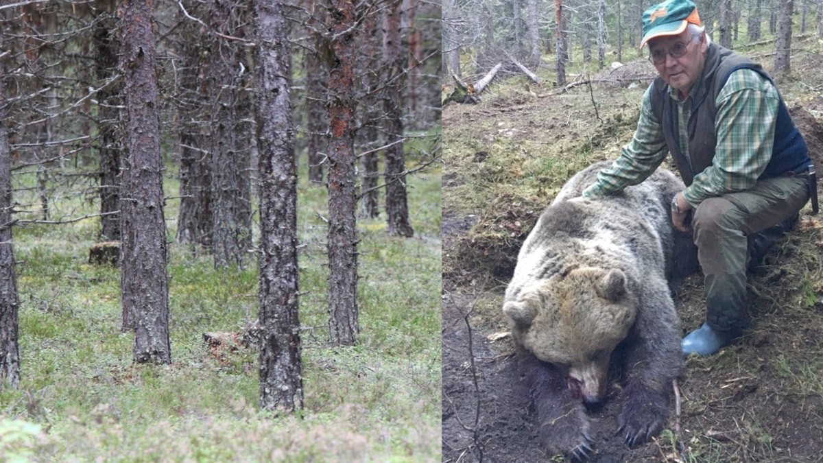 Montage tallskog och jägare med fälld björn