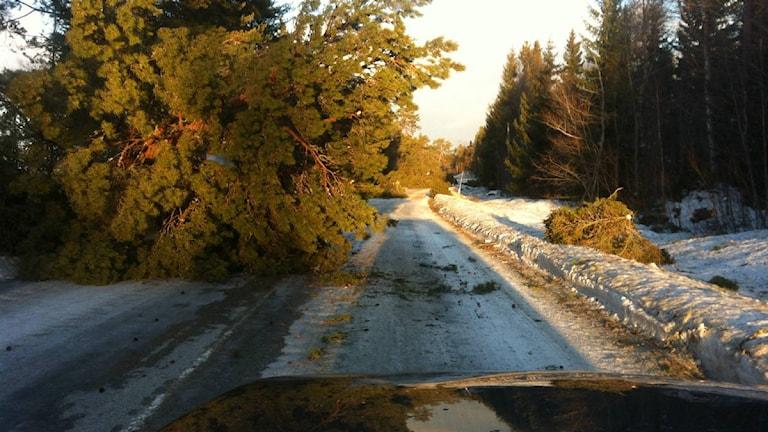 Träd över vägen