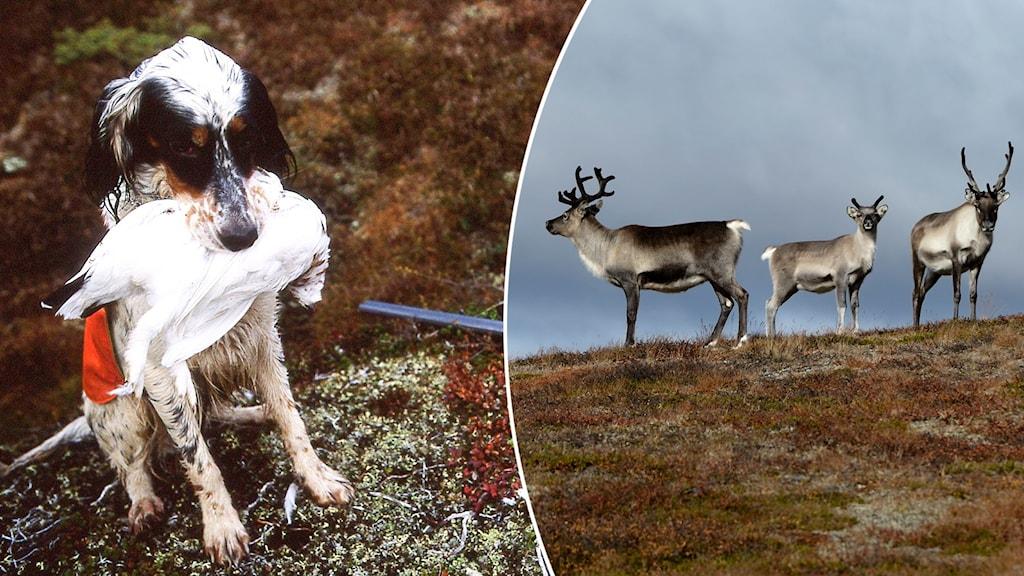 En hund håller en vit fågel i munnen och gevärspipa syns på marken bredvid samt renar på ett fjäll