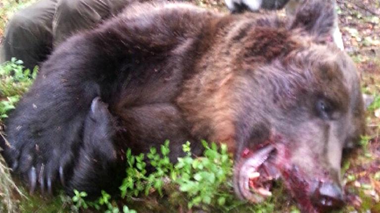 303 kilos björnhane skjuten utanför Olden av Rickard Fagerstrand. 130902. Foto: Privat