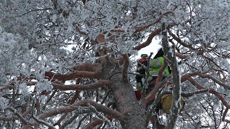 Man klättrar i tall vintertid