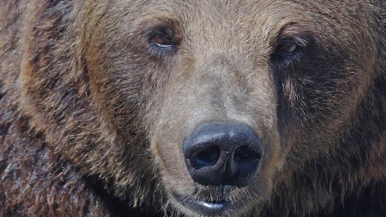 Björn brunbjörn