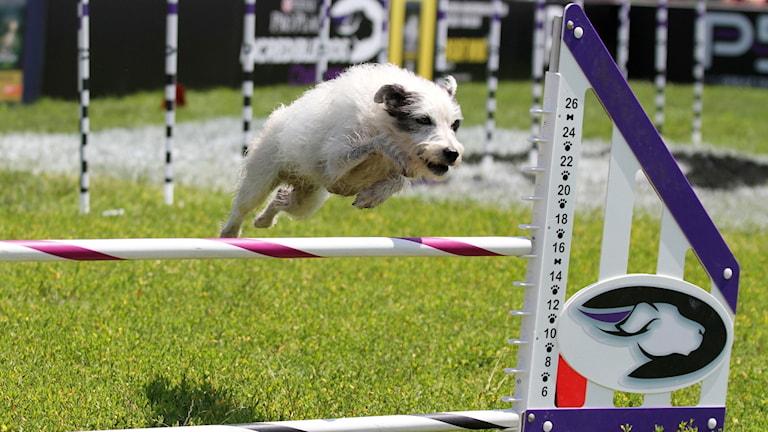 En hund hoppar över ett hinder