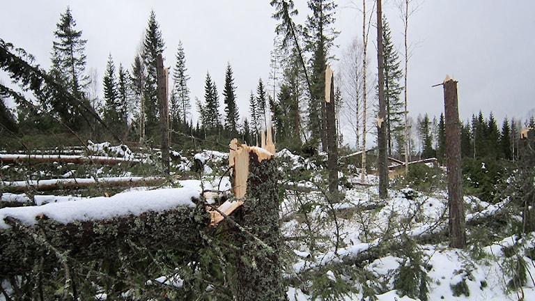 Ovanligt mycket skog verkar ha knäckts i stället för att ta med sig rotpartiet under stormen Ivar. Vy intill E 45, strax nordost om Svenstavik. Foto: Marcus Frånberg/Sveriges radio.