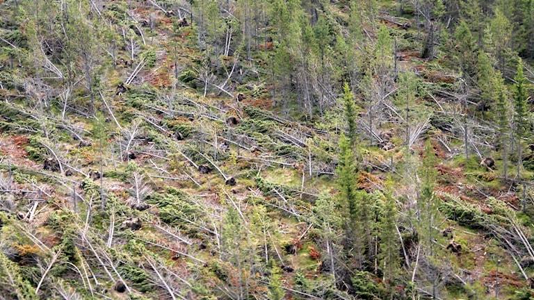 Stormfälld skog.