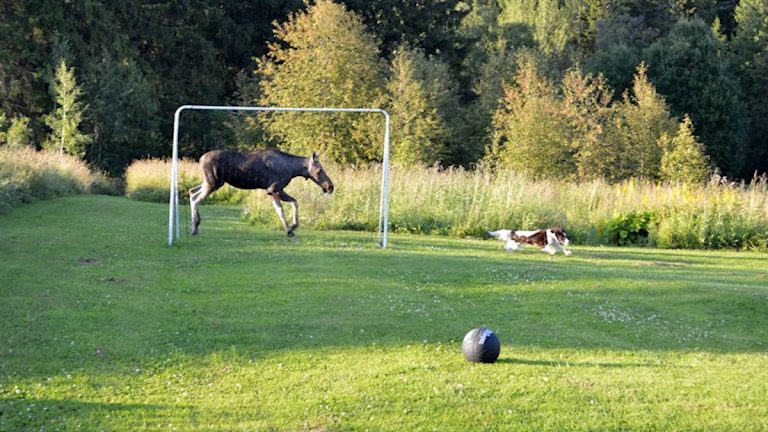 Älgko på Frösön jagar en hund