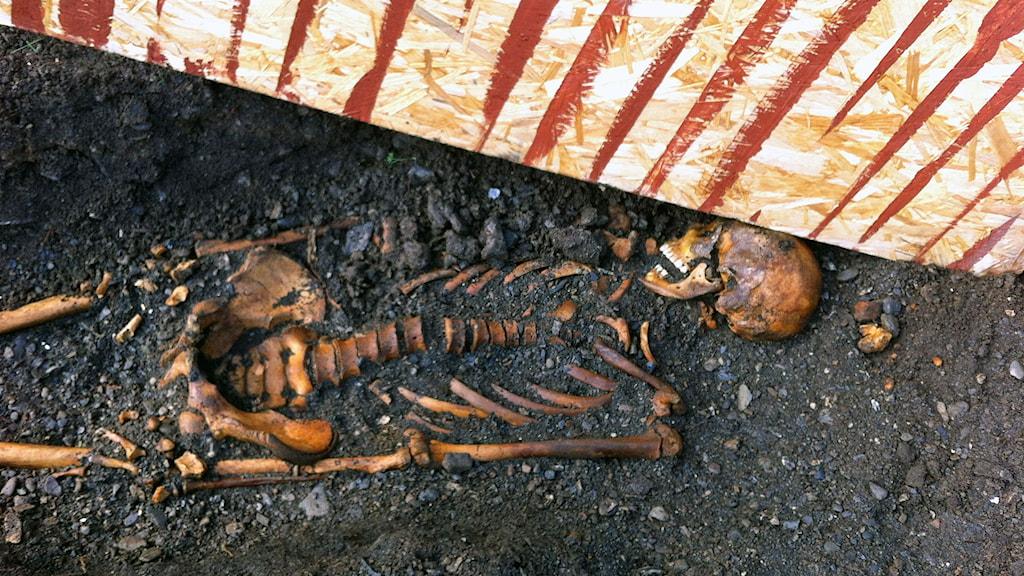 Skelett från 1200-talet. Frösö kyrka. 140910. Foto: Karin Bångman/SR