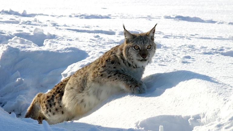 Lodjur i snö. Foto: Jon M. Arnemo/TT