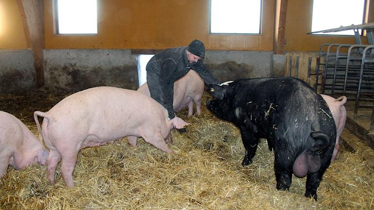 man i ladugård med fem stora grisar som bökar i halm