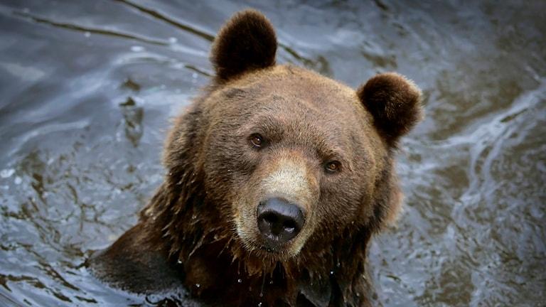 Badande brunbjörn