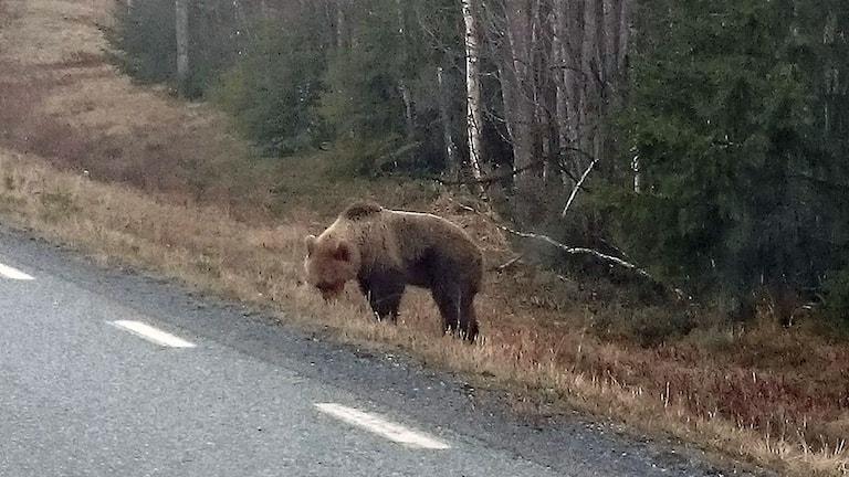 Björn i Jämtland