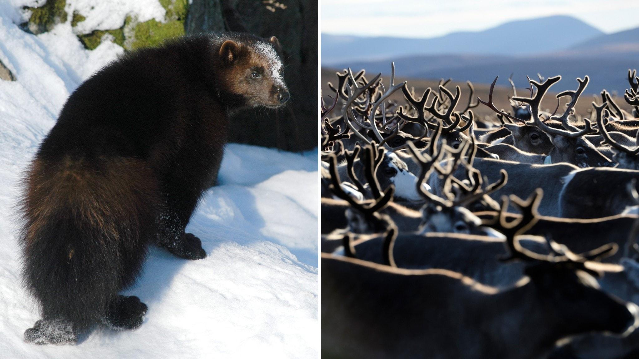 björnar online dating