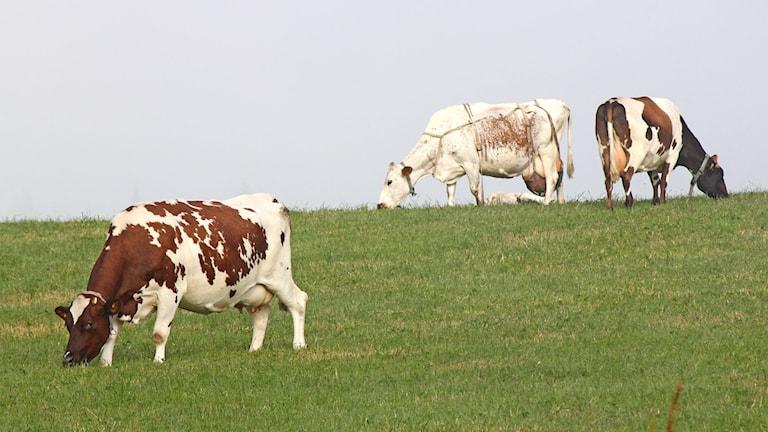 Kor betar i hage