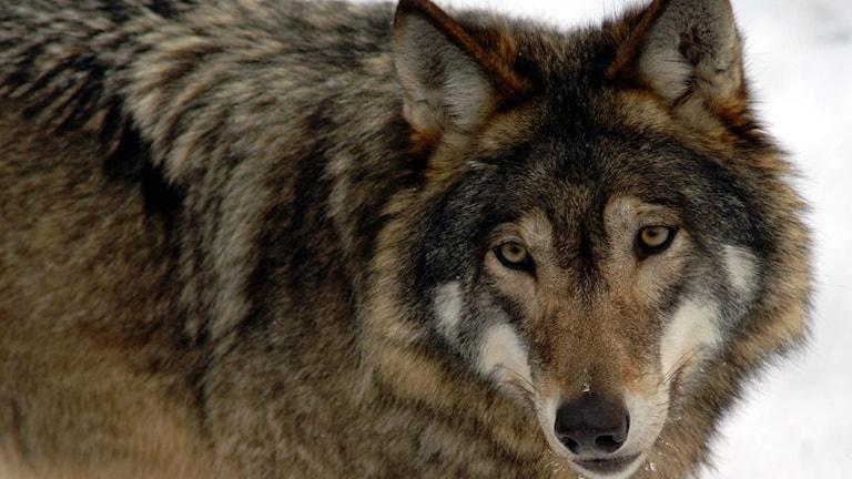 Närbild på varg i vinterlandskap.