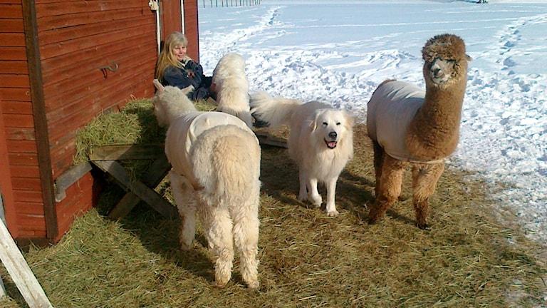 Maremanohunden Leo trivs bra tillsammans med alpackor hos Jan-Olof Östberg.