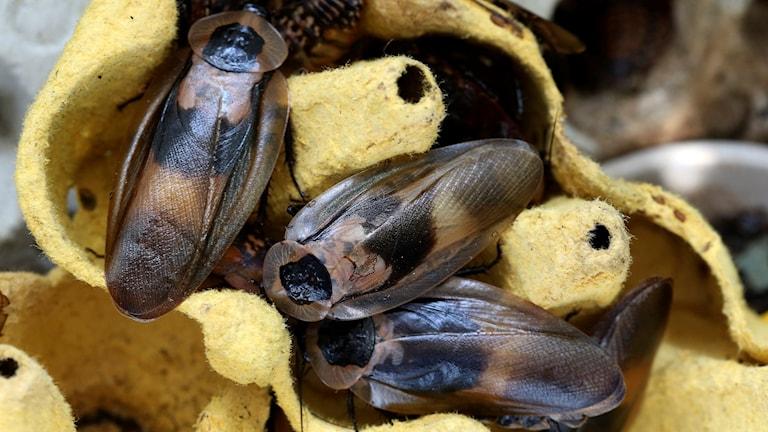 Kackerlackor används som mat till   fågelspindlar   Foto: Sören Andersson / TT / Kod 1037