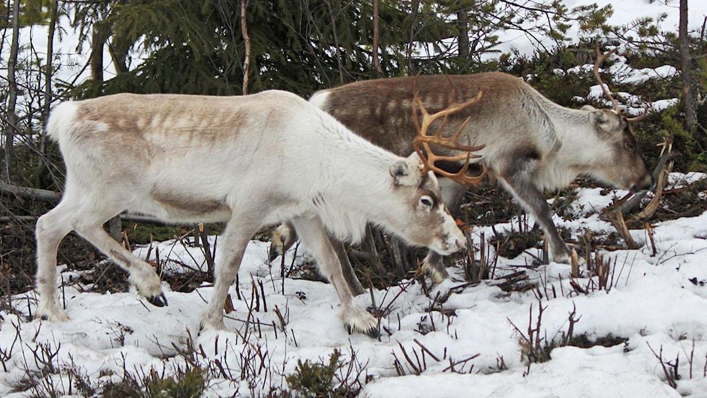 Två renar i skog vintertid